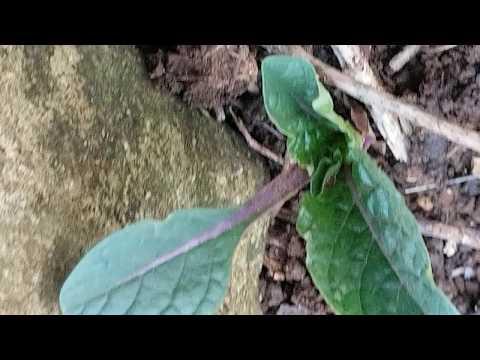 Вопрос: Существует ли в природе растение мандрагора и где оно растет?