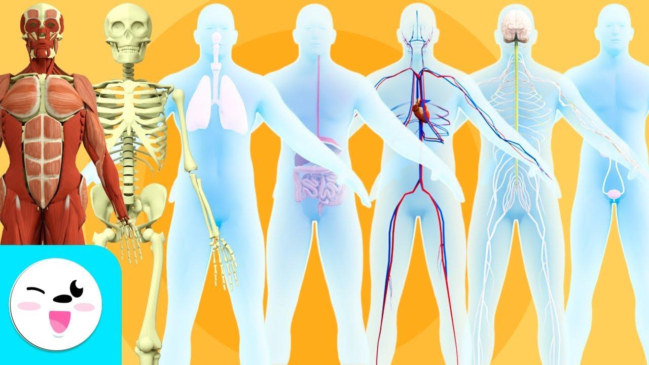 Los Sistemas Del Cuerpo Humano Para Niños Recopilación