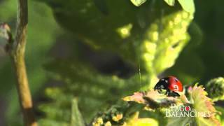 Ecología por convicción - mariquitas / Ecology as a matter of conviction - Ladybugs