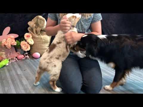 Merle Australian Shepherd puppies| Klondike Litter| COLOR COUNTRY AUSSIES *CUTE*