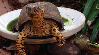 I MADE A DANGEROUS MISTAKE- box turtle care