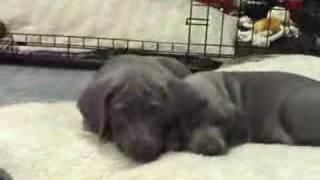 Weimaraner Puppy 8 Weeks