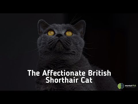 The Affectionate British Shorthair Cat