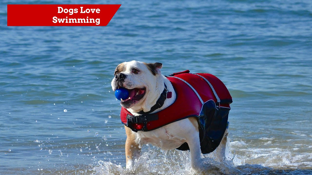 english bulldog swimming with a life vest youtube