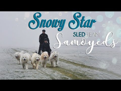 Snowy Star Sled Team Samoyed - Minikowo 2016