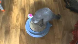 Когтеточка Play-n-Scratch, Hagen/Британский котенок играет.