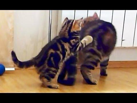 Naughty Kitten attacks Mom Cat