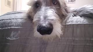 Bathing my Irish Wolfhound | It's a darn good thing she loves it...