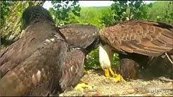 Decorah Eagles 5-31-20, 4 pm Mom brings a fish, insists on feeding
