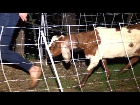 Invasive plant-eating goat stolen from St. Paul park