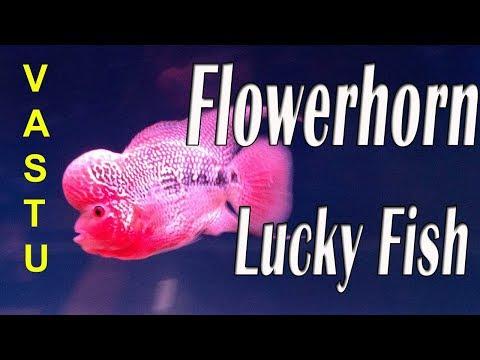 Flowerhorn Ka Vastu Positon In Hindi,/Flowerhorn Fish Brings Good Luck/
