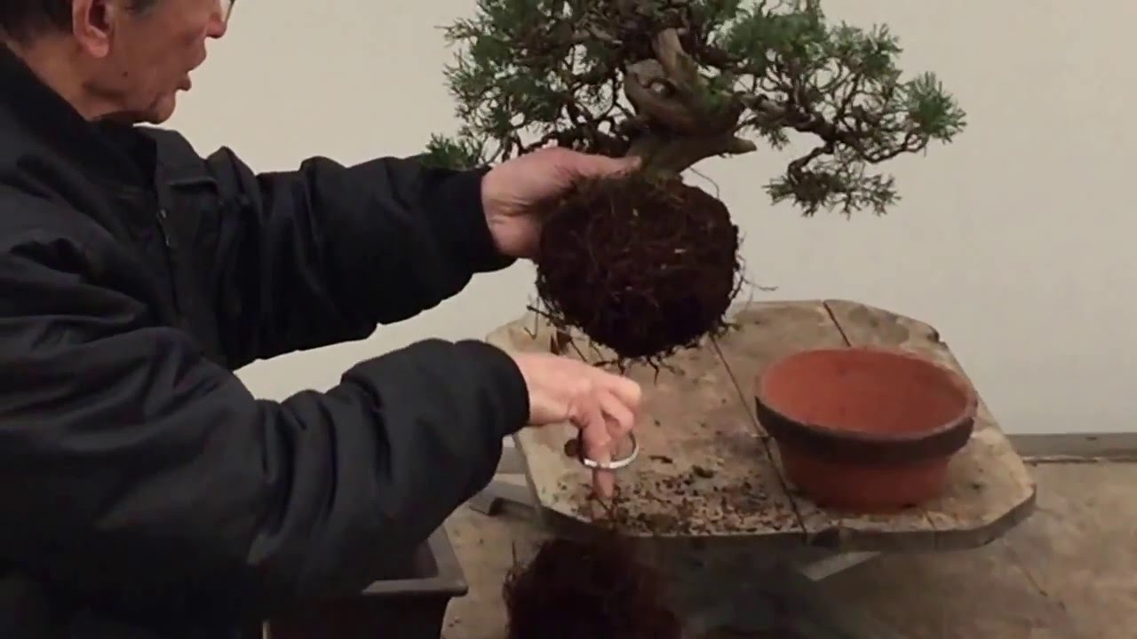 Bonsai Tree Repotting Tutorial Peter Chan Youtube