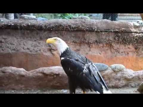 Bald Eagle @ Santa Ana Zoo