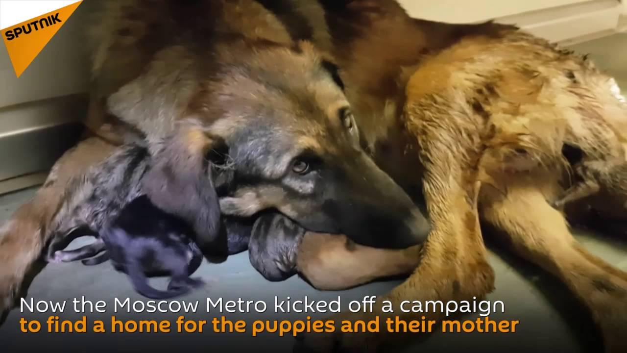 Stray Dog Gives Birth to 9 Puppies on Moscow Metro Train
