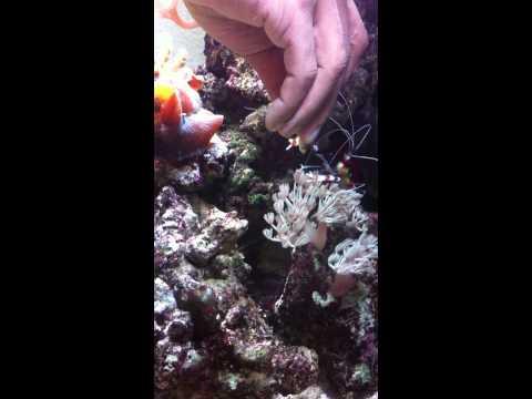 Feeding Lance fish to Boxer shrimp