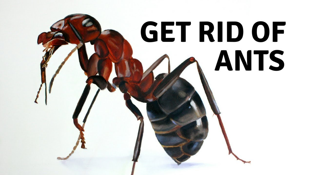 How to Get Rid of Ants - Home Remedies for Ants - YouTube