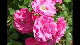Roses and Women Tango- Dajos Bela Orchestra