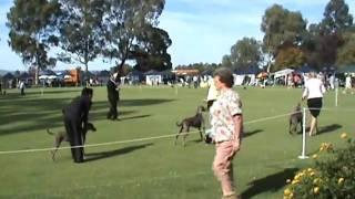 Show #1 Ariane Weimaraner Dog Show Part #3