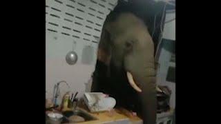 Жители Хуахина сняли на видео, как голодный слон вломился к ним в дом …