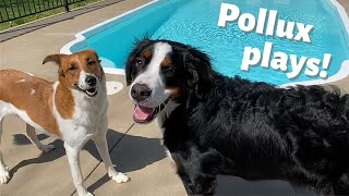 POLLUX HAS A DOG PLAY DATE WITH HIS COUSIN