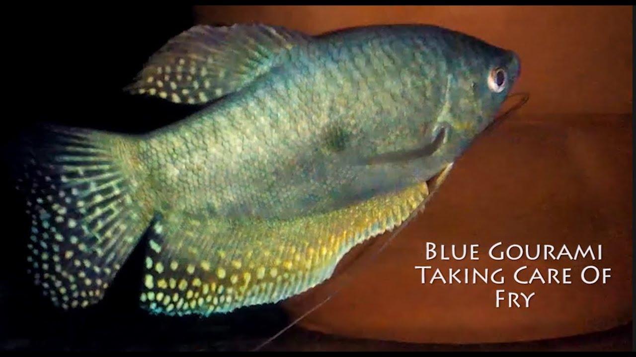 how to take care of gourami fish