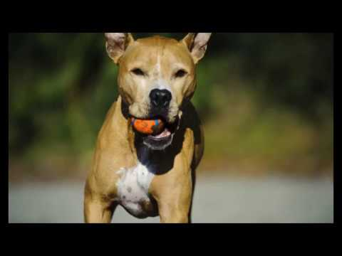 a paper on american pit bull terrier and the history of the breed Essay on managing pit bull terriers - managing pit bull terriers queensland premier, peter beattie says having a pit bull terrier is like having a loaded gun in your.