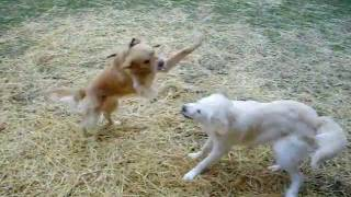 Funny Dogs Playing And Chasing Each Other, 2-8-12.mov
