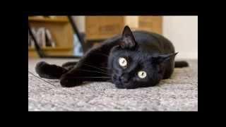 Бомбейская кошка умные и изящные кошки пантера в миниатюре