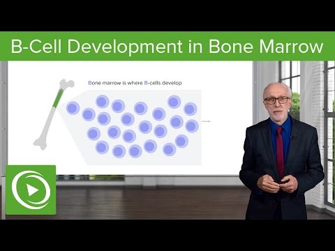 B-Cell Development in the Bone Marrow – Lymphocyte Development | Lecturio