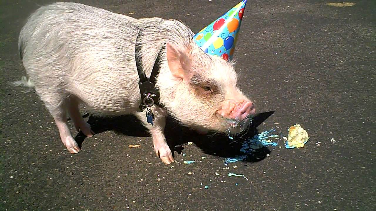 Pig Eating Birthday Cake