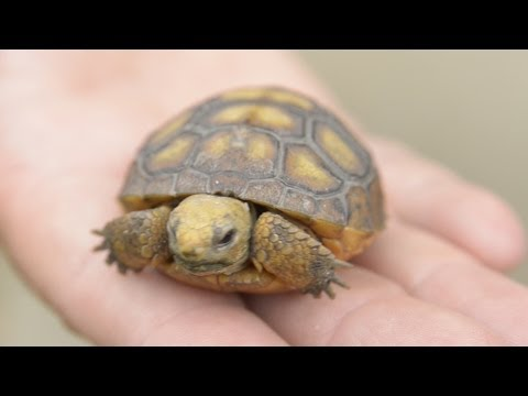 Gopher Tortoises Rescued