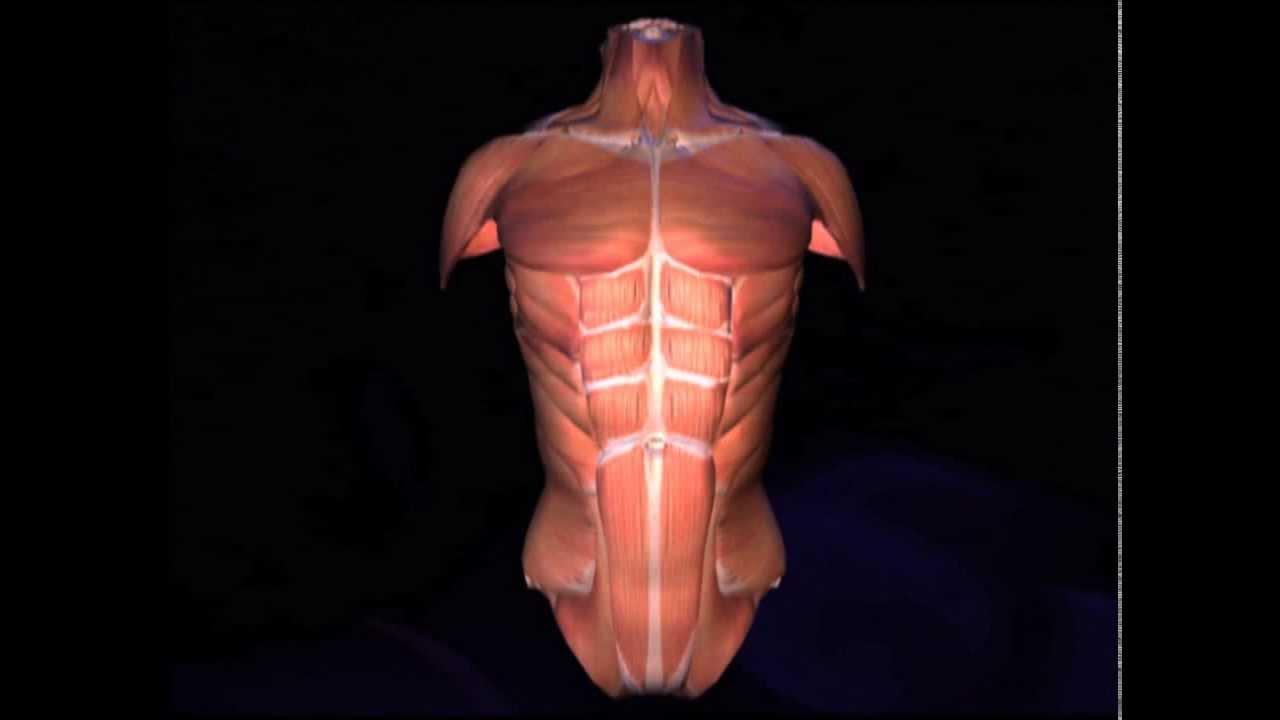 Musculos del tronco - YouTube