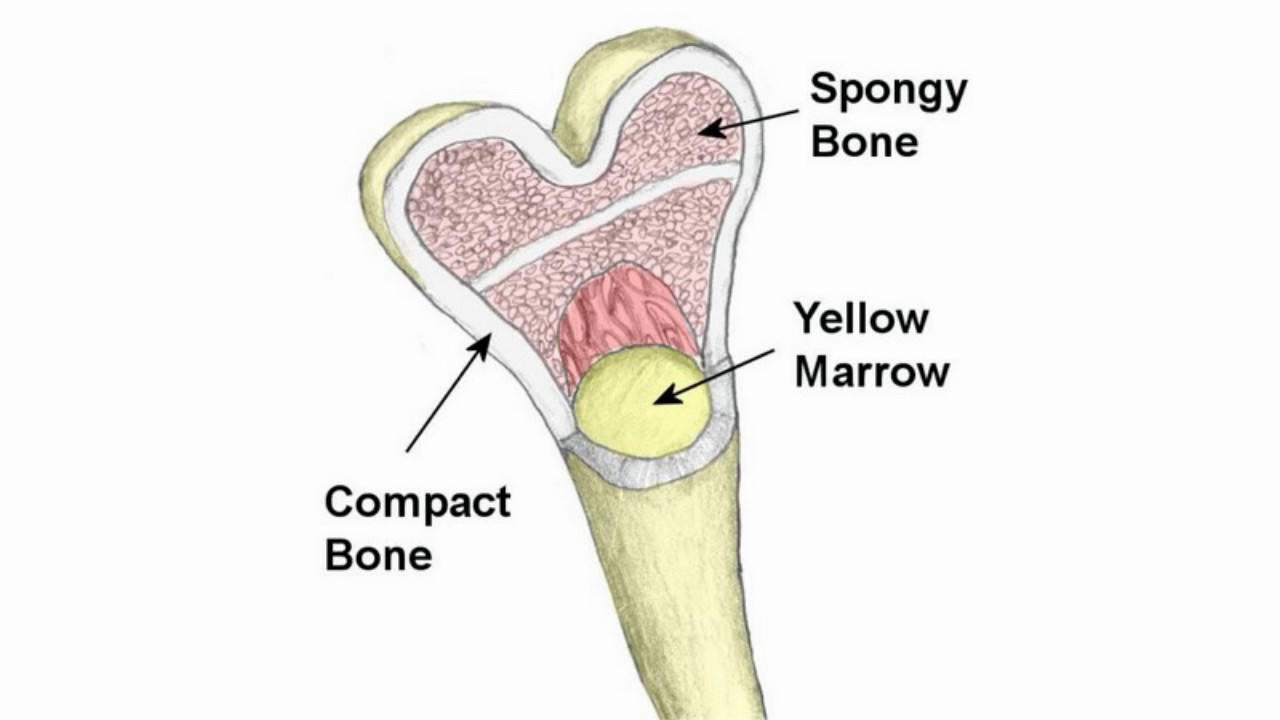 hight resolution of difference between compact bone and spongy bone