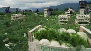 Италия: урожай спасут марокканцы