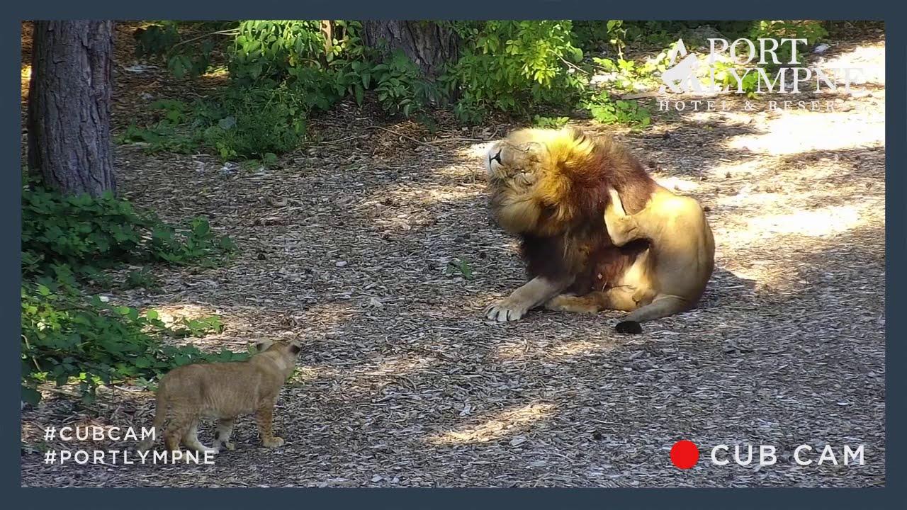 Lion Cub Cam Highlight   Lion Cub Stalks Unaware Dad!