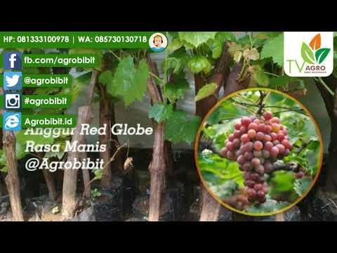 Anggur Merah Red Globe Batang Besar