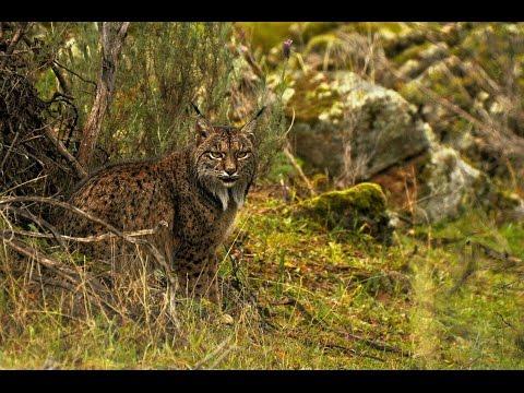 Lince Ibérico, (Lynx pardinus) - Iberian Lynx