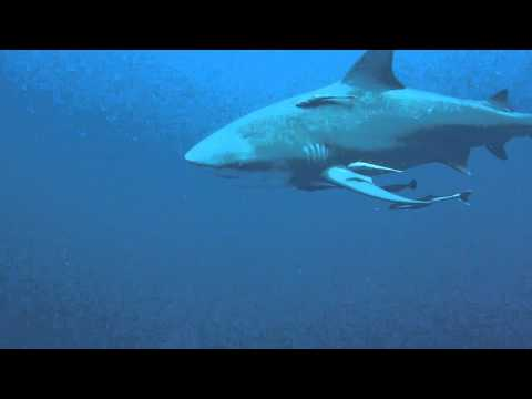 Baited Shark Dive - Protea Banks - South Africa - African Dive Adventures