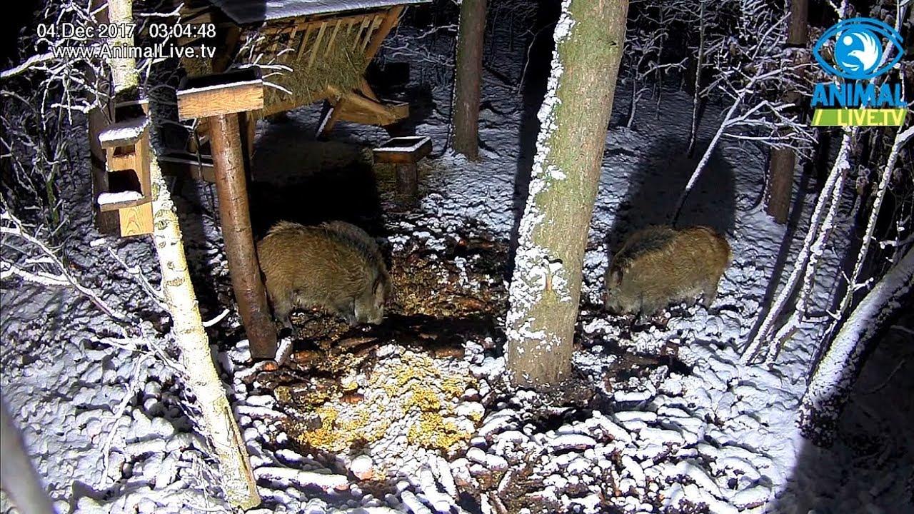 🐗 🐗 Młode dziki w karmisku w lesie na Podkarpaciu