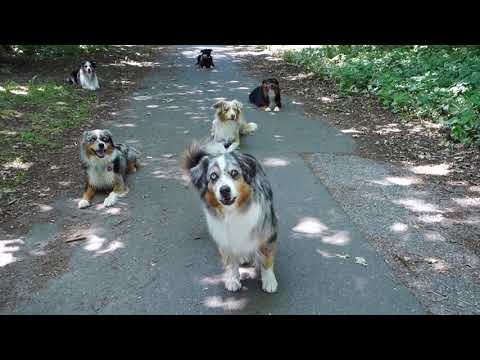 Working multiple dogs at a time – Snowleaf Miniature Australian Shepherds