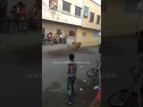 Cow goes crazy in Surat, India