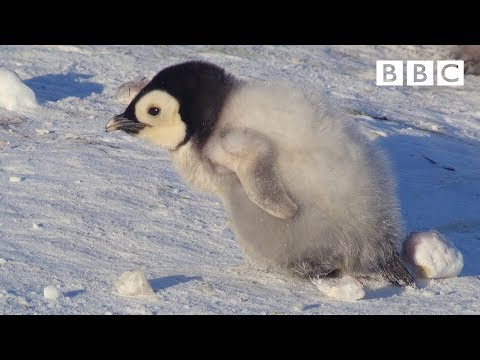 Snow chick ventures onto the ice for the first time - Snow Chick: A Penguin's Tale Preview - BBC One
