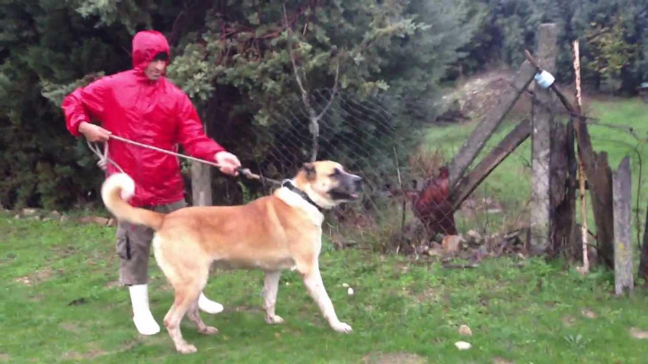 Volkodav Dog Breed