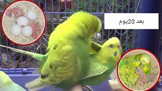 تهيج ذكر البادجي للتزاوج اصوات طيور الحب لتحفيز للتزاوج