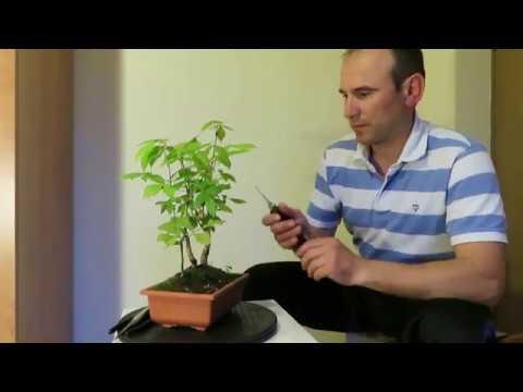 Acer Negundo Proiect Bonsai Ep 2 Youtube
