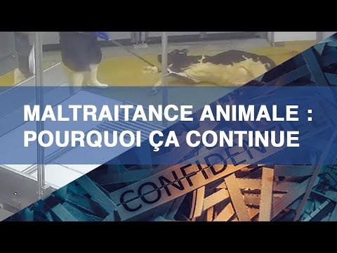 Maltraitance Animale Dans Les Abattoirs : Pourquoi ça Continue