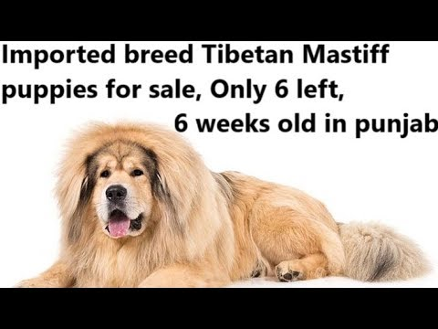 Original tibetan mastiff lion head dog breed for sale in punjab india