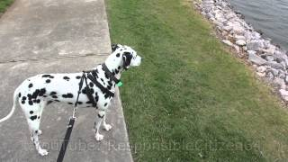 Dog (dalmatian) Goes To The Park (duck & Ducklings)