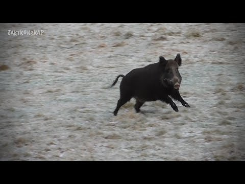 Jaktkunskap – Del 8 – Drevjakt på vildsvin