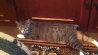 Кошка Тема балерина бобтейл